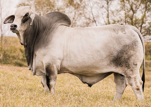 Brahman Sires - G5 Ranch - MR. V8 604/7